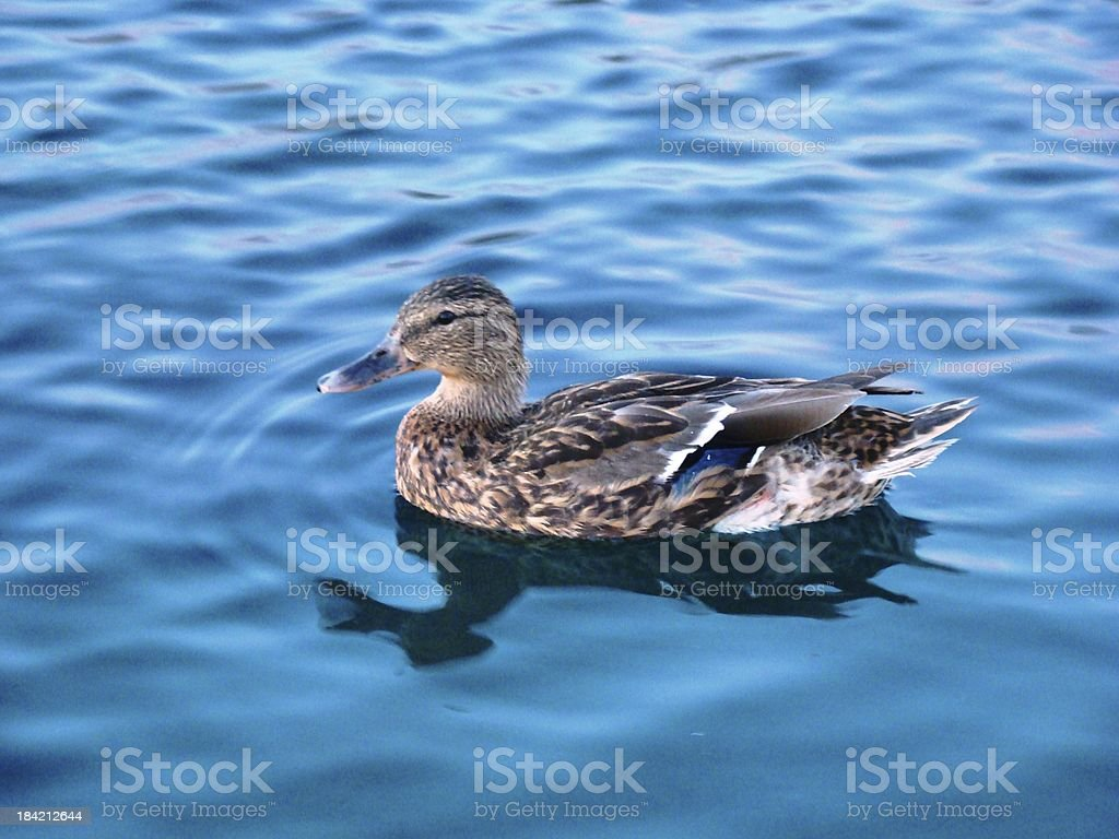 Female Mallard Duck in Bright Blue Pond royalty-free stock photo