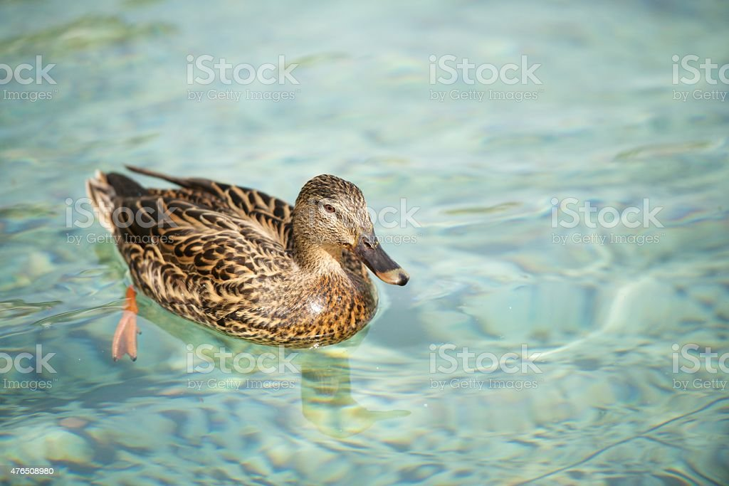 Female mallard duck on clear water royalty-free stock photo