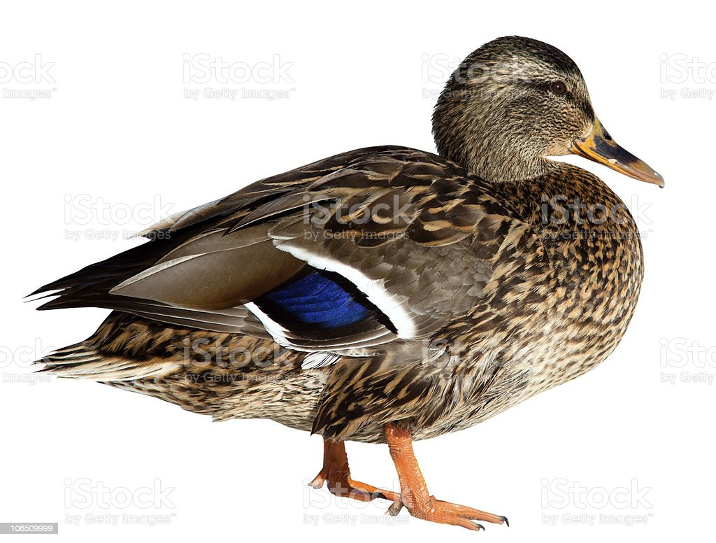 Female mallard duck standing isolated on white stock photo