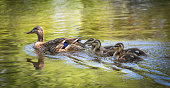 Female Mallard duck swims with her gosling family.