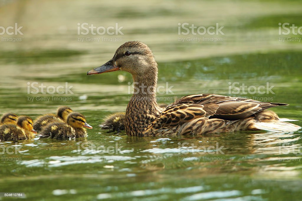 female mallard duck with ducklings on lake stock photo
