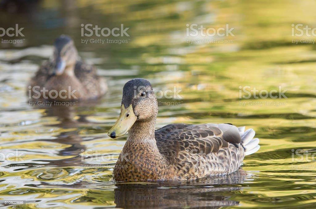 Female Mallard stock photo