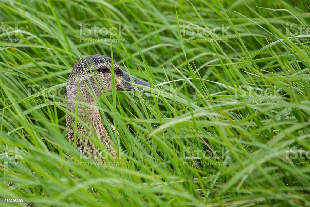 Female Mallard (Anas platyrhynchos) stock photo