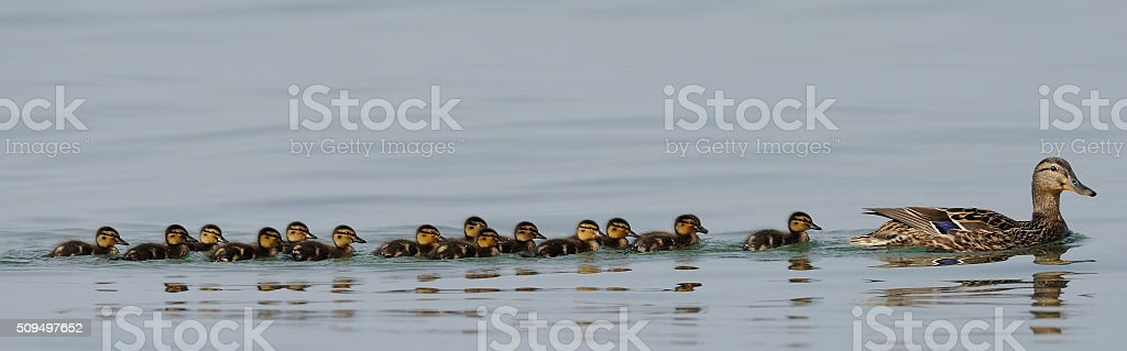 Female mallard with chicks stock photo