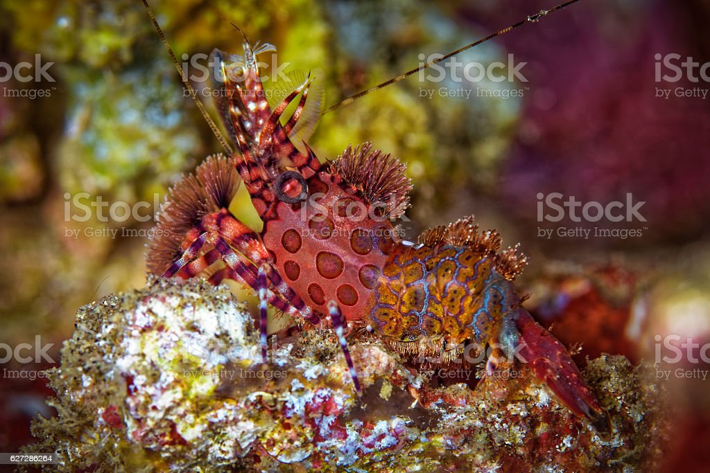 Female Marble Shrimp, (Saron sp.) stock photo