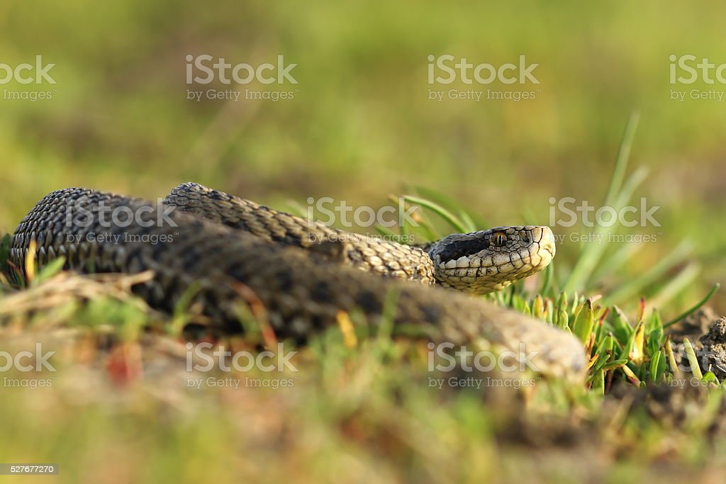 female meadow viper in the grass stock photo