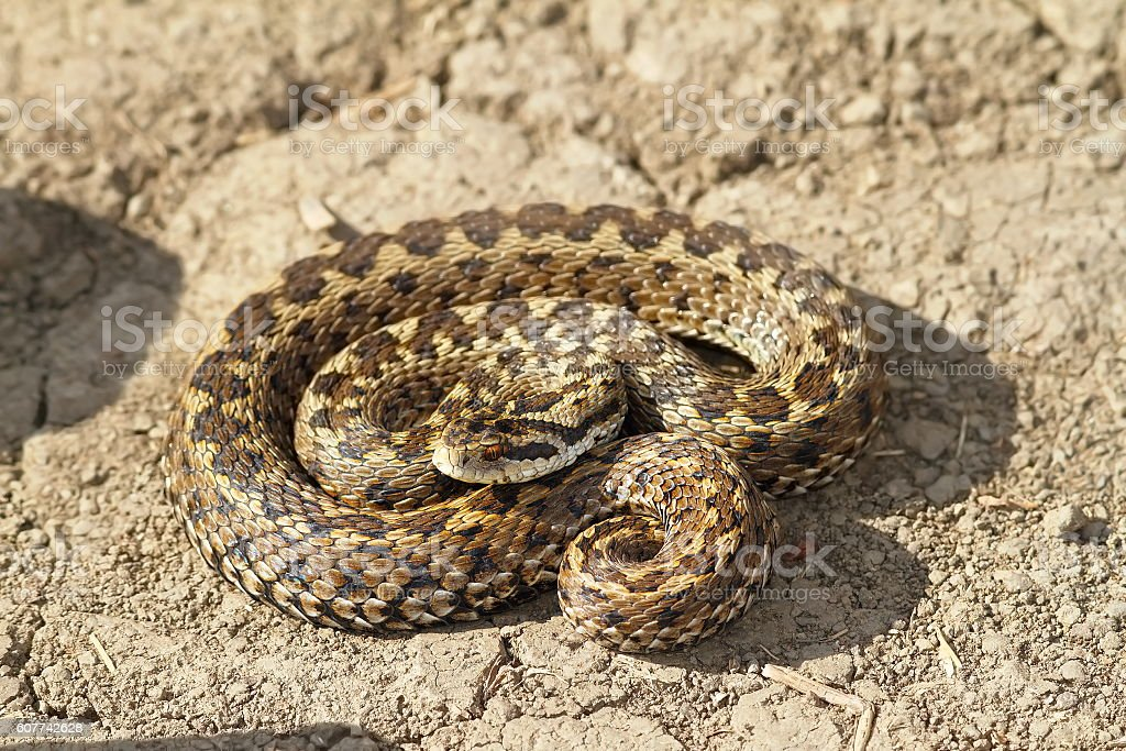 female meadow viper on the ground stock photo