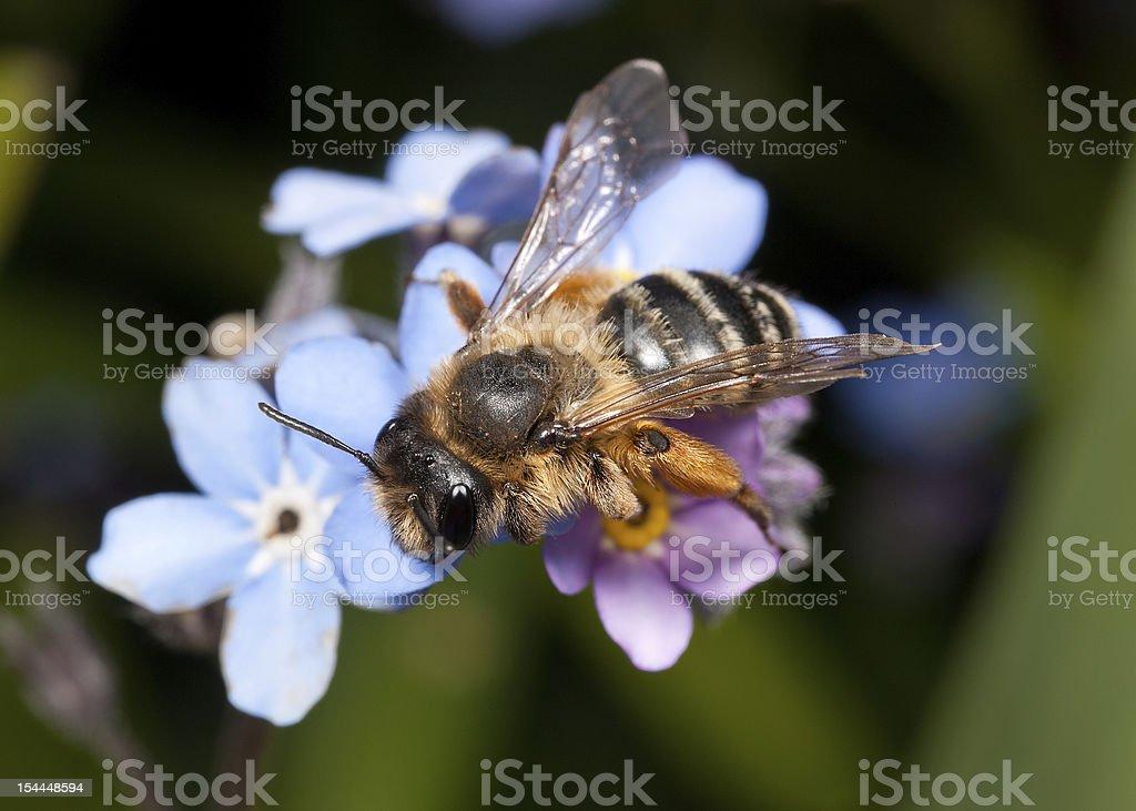 Female Mining bee stock photo