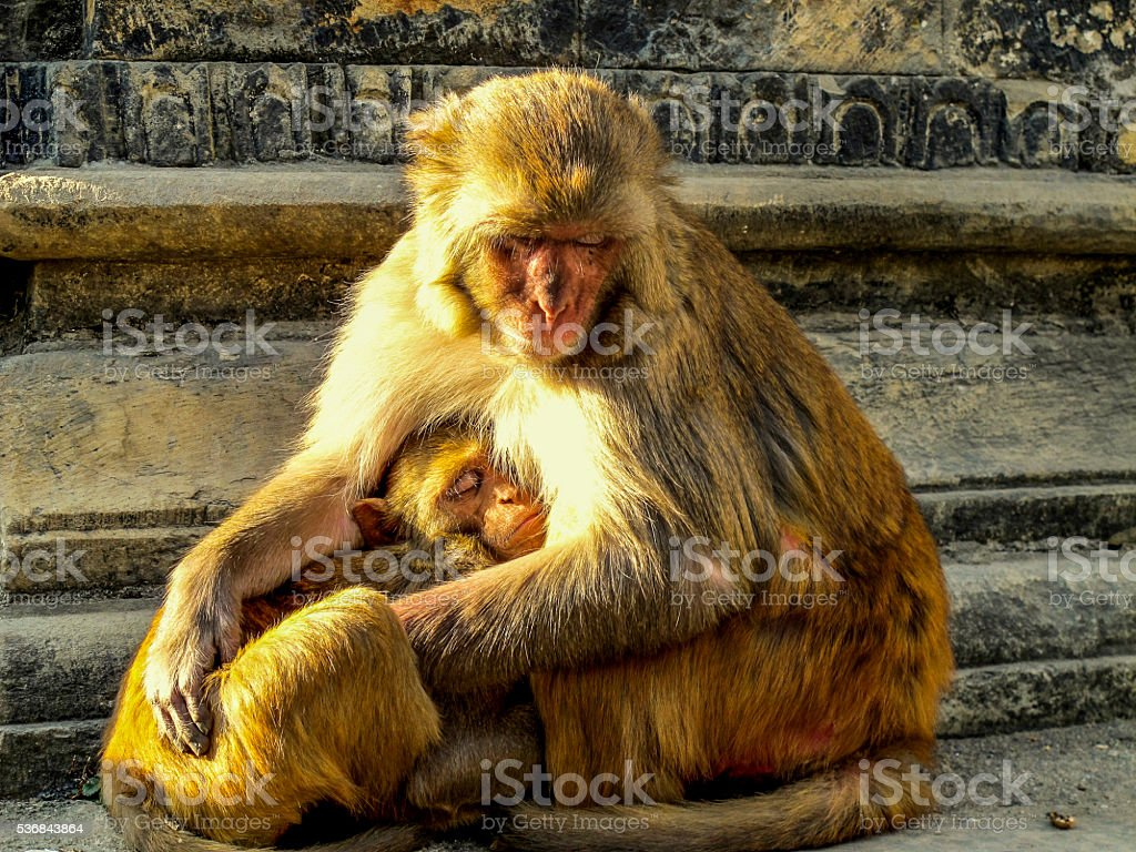 Female monkey and baby in Kathmandu. stock photo