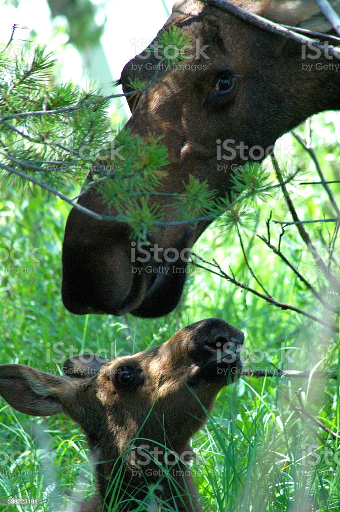 Female Moose and Calf stock photo