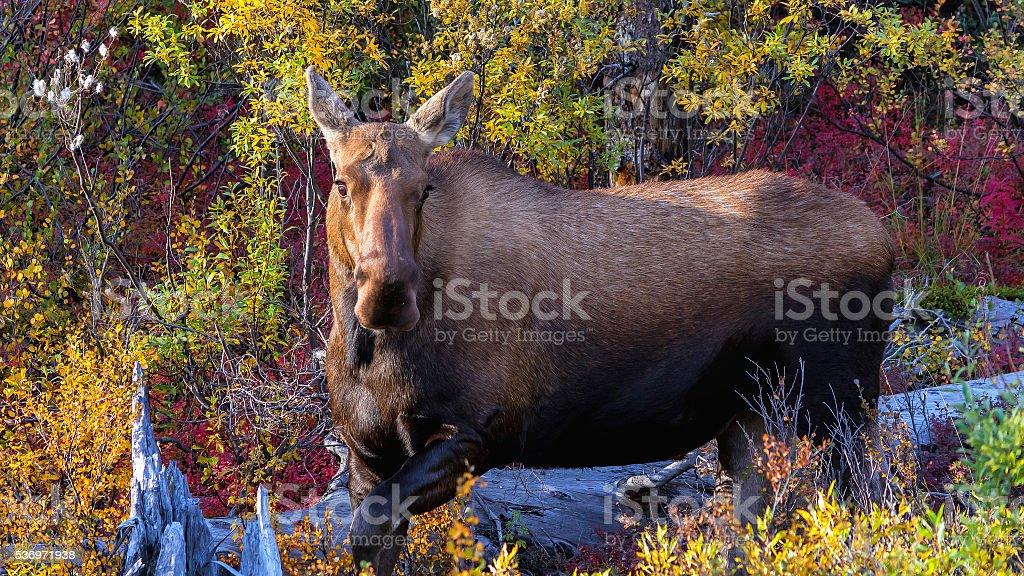 Female moose browsing on Autumn foliage in Denali stock photo