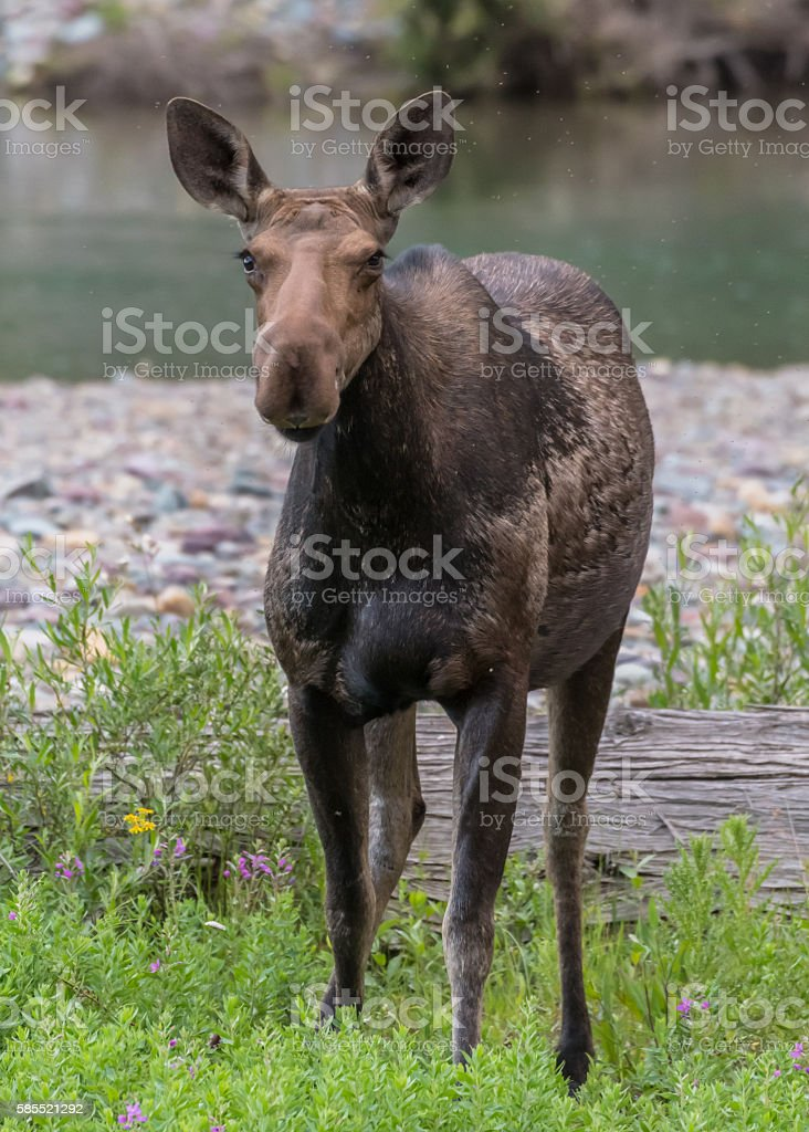 Female Moose Stands in Green Brush stock photo