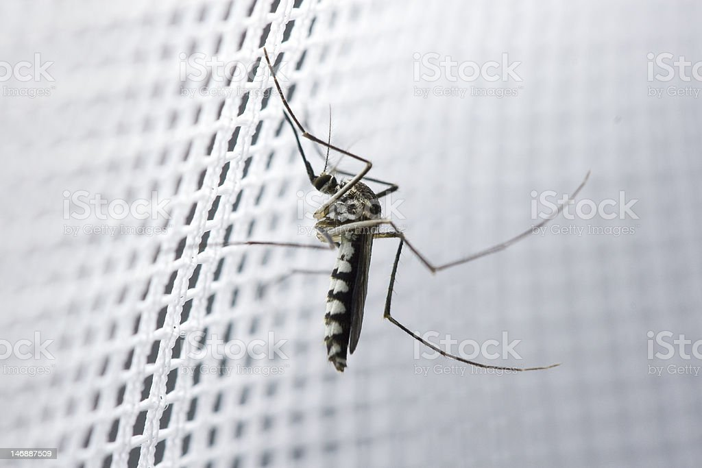 female mosquito stock photo