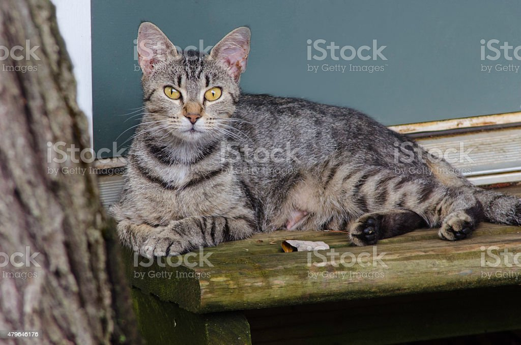Female Mother Feral Cat Lying By Shed Door stock photo