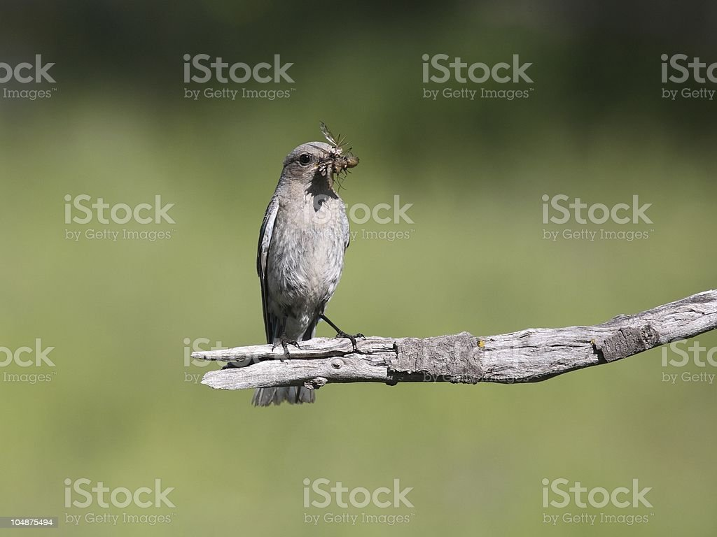 Female Mountain Bluebird with a beak full of insects royalty-free stock photo