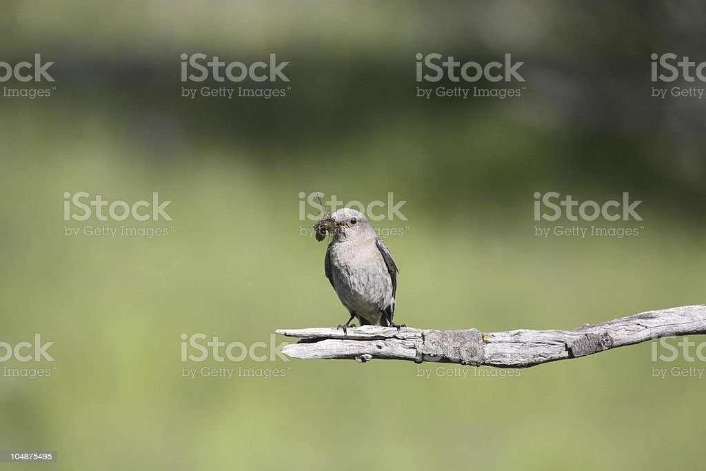 Female Mountain Bluebird with a beak full of insects. royalty-free stock photo
