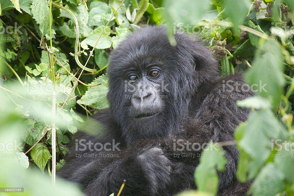 Female mountain gorilla stock photo