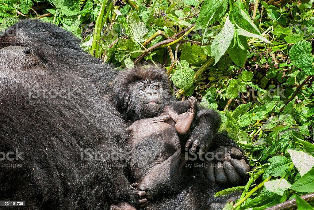 Female Mountain Gorilla with baby in Rwanda stock photo