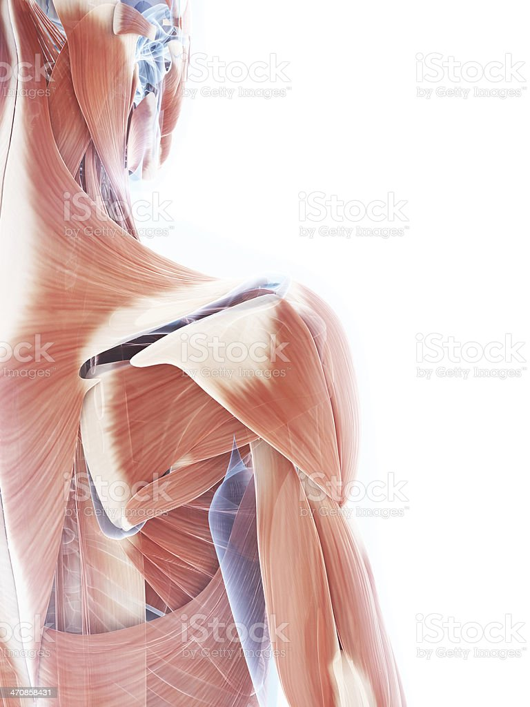 female muscle system - shoulder stock photo