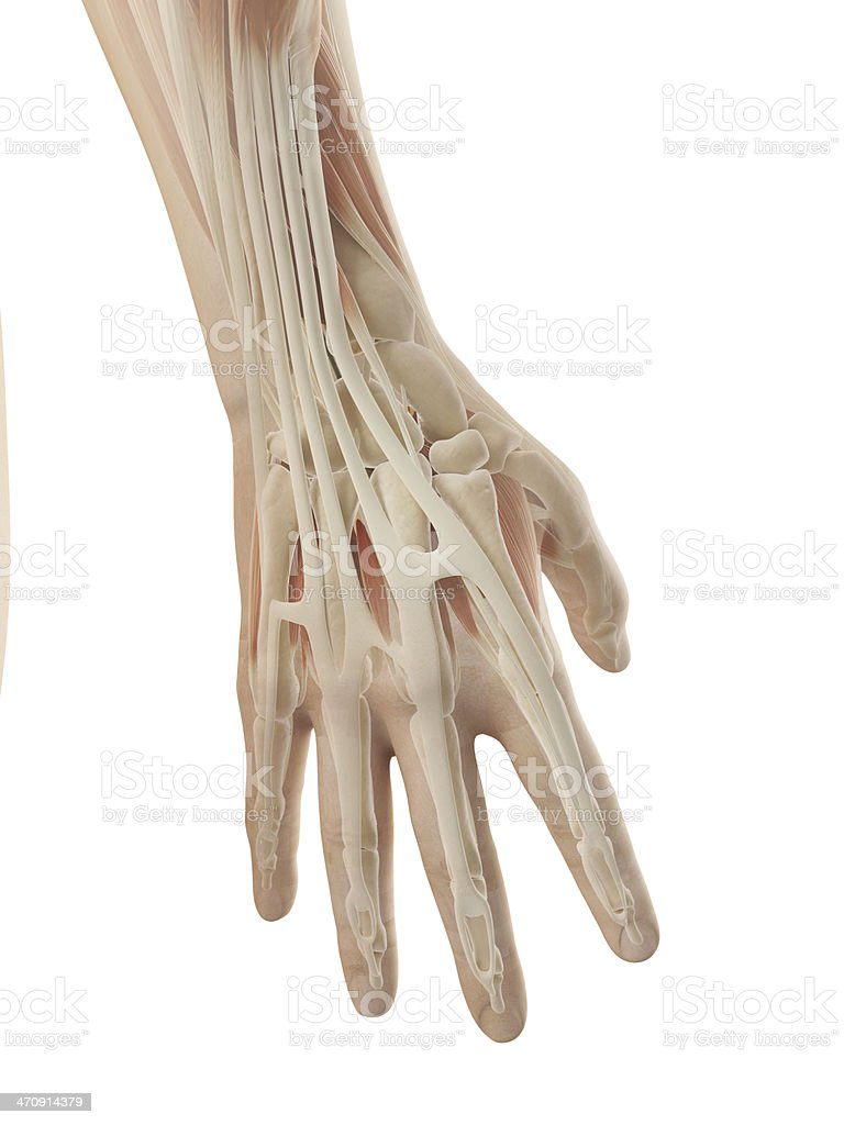 female muscles - hand stock photo