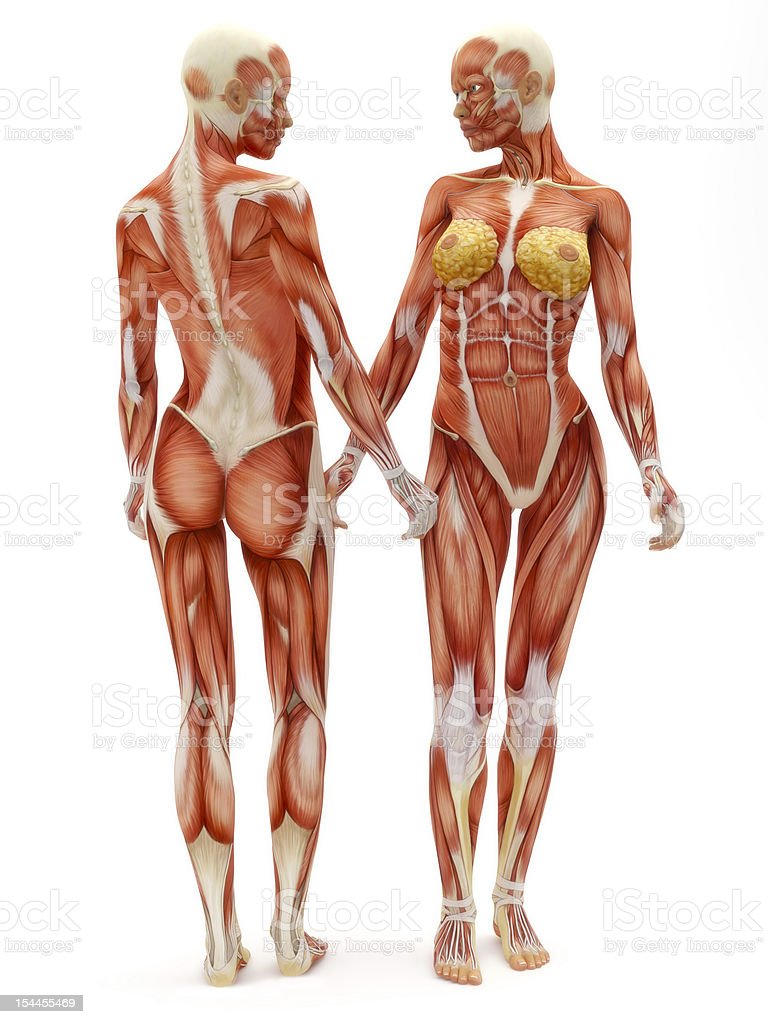 Female musculoskeletal system stock photo