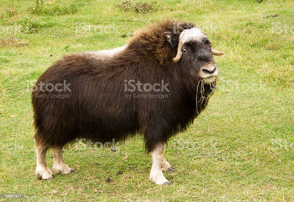 Female Musk Ox stock photo