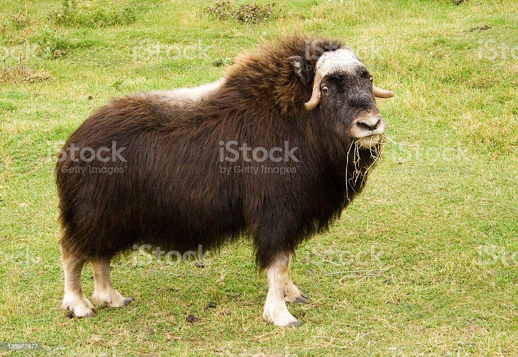 Female Musk Ox stock photo