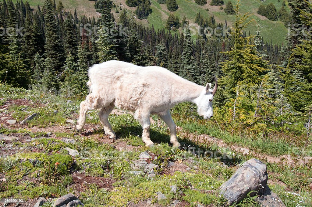 Female Nannny Goat on Hurricane Hill in Olympic National Park stock photo