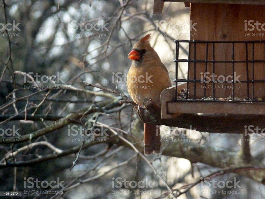 Female Northern Cardinal Bird stock photo