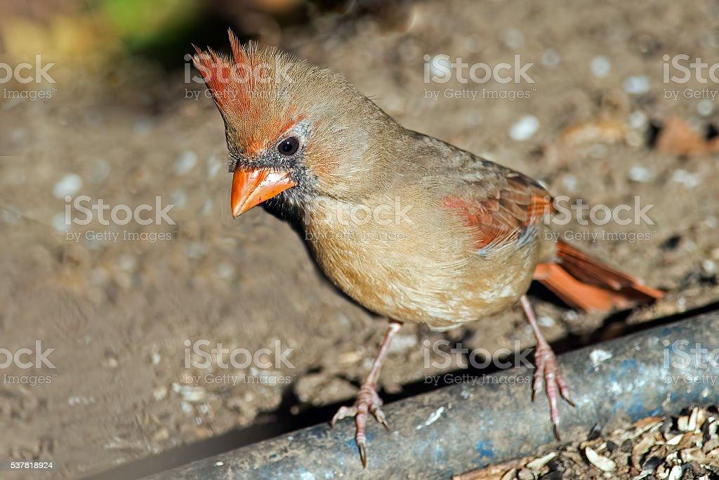 Female Northern Cardinal Eating stock photo