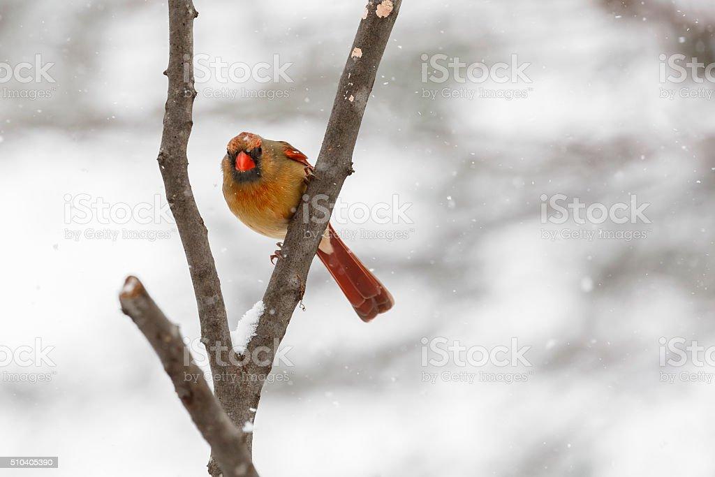 Female Northern Cardinal (Cardinalis cardinalis) In a Snowstorm stock photo
