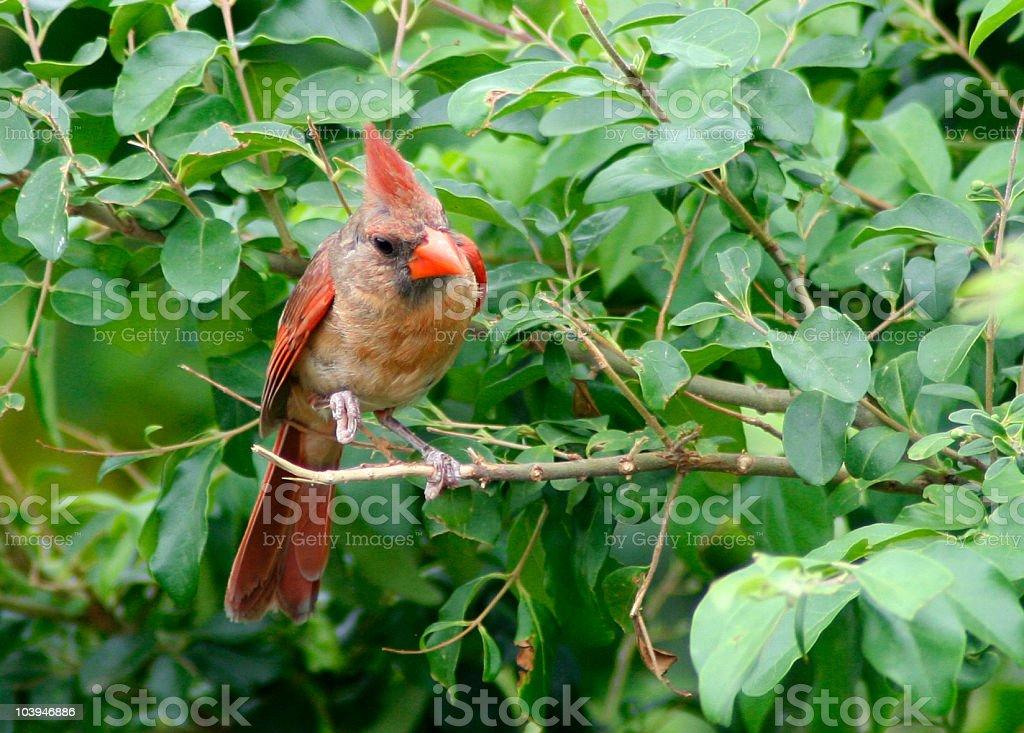 Female Northern Cardinal royalty-free stock photo