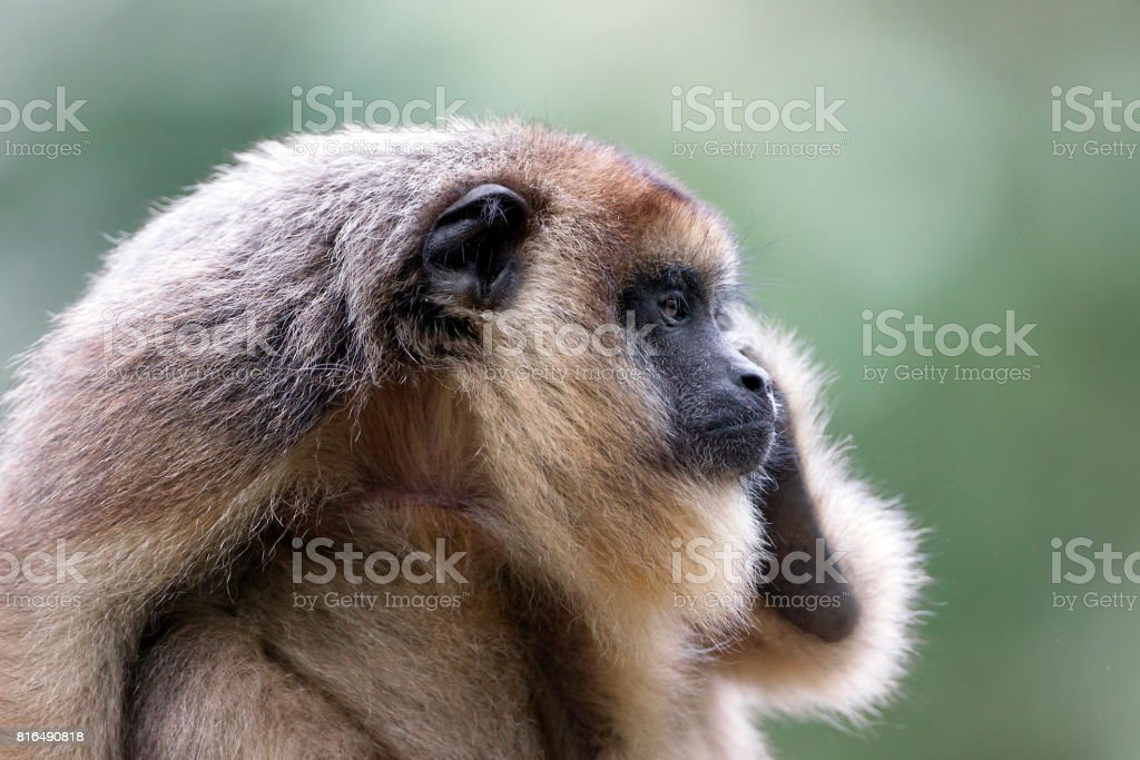Female of black howler monkey stock photo