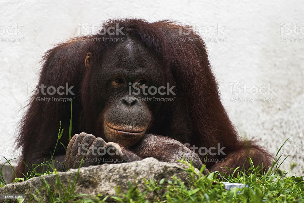 Female of orangutan relaxing (Pongo pygmaeus) royalty-free stock photo