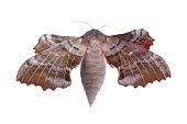 Female of Poplar hawk-moth (Laothoe populi)
