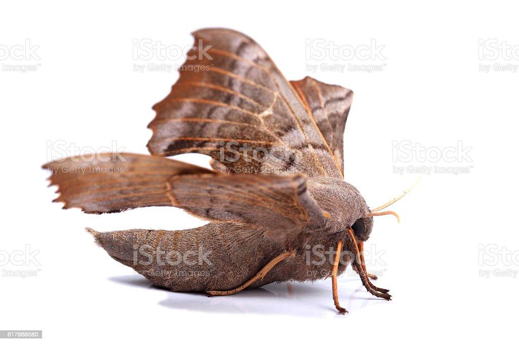 Female of Poplar hawk-moth (Laothoe populi) stock photo
