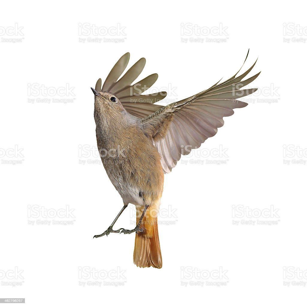 Female of redstart bird flying isolated stock photo