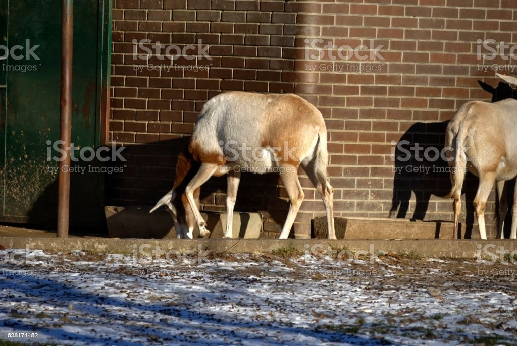 Female of scimitar-horned oryx. stock photo
