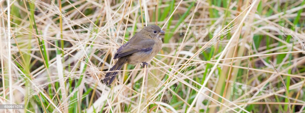 Female of the double-collared seedeater perched on grass stalk stock photo