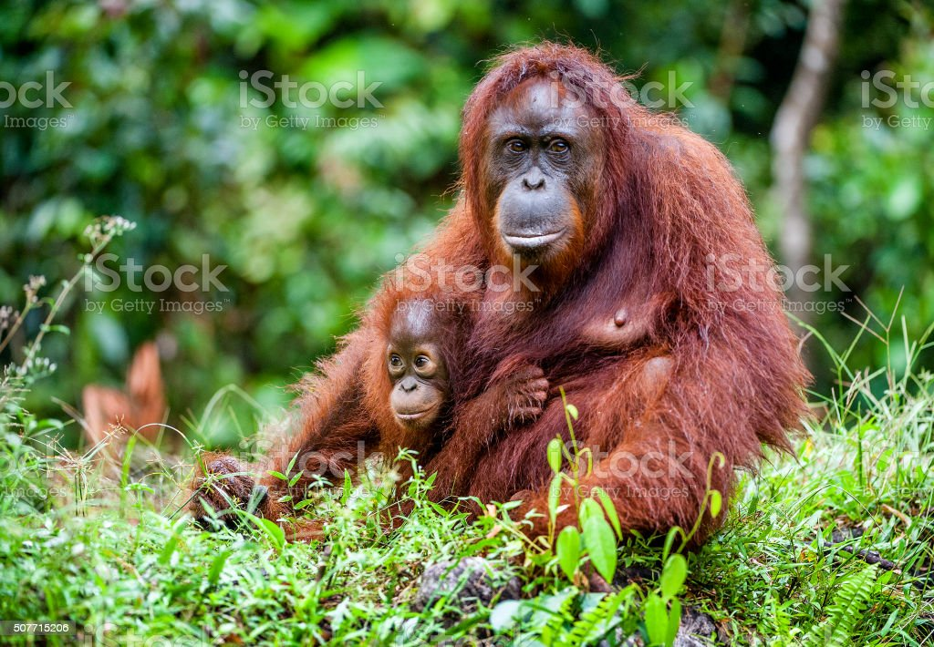 Female of the orangutan with a cub in native habitat. stock photo