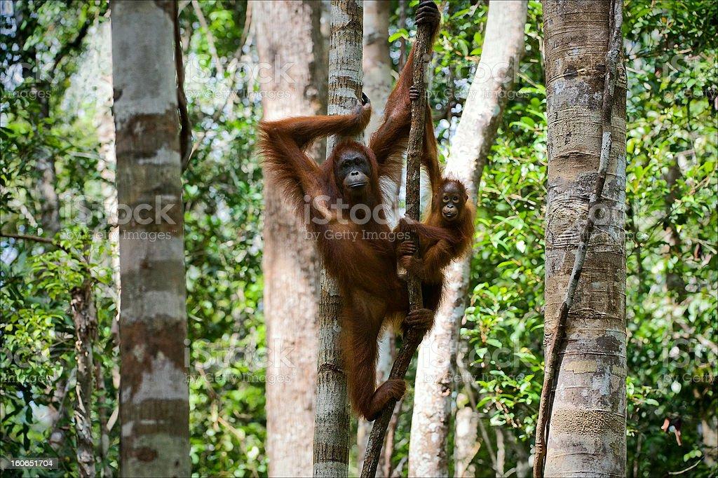 Female of the orangutan with a cub. stock photo
