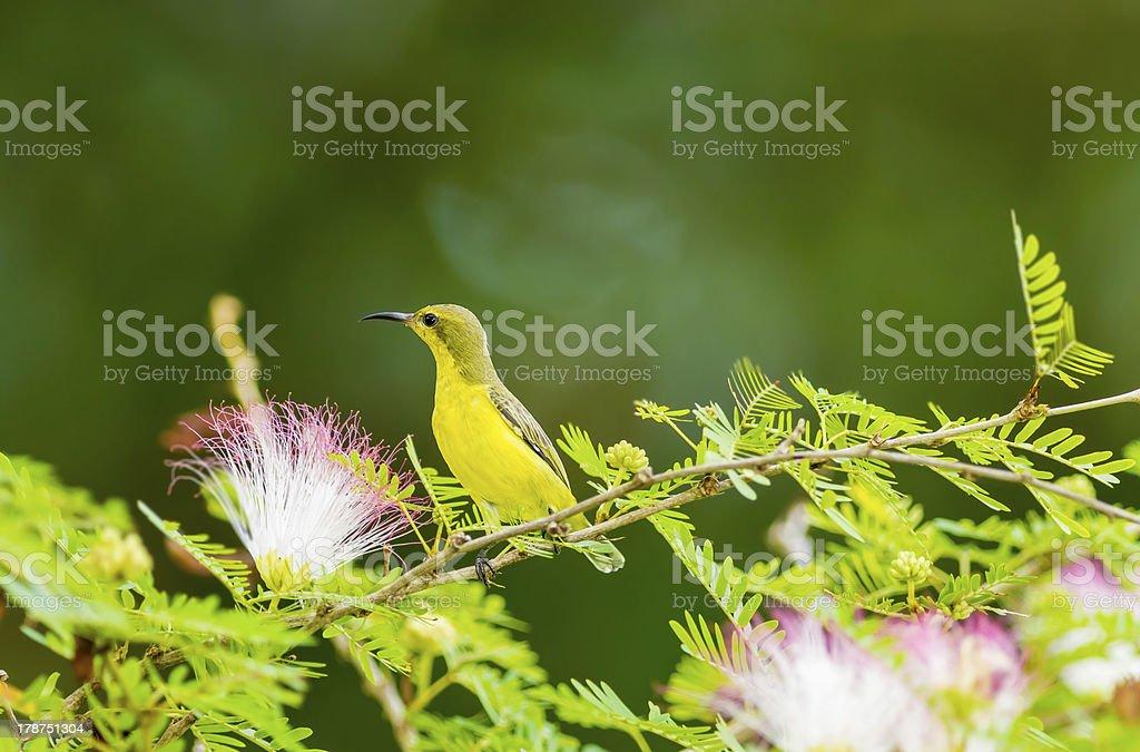 Female Olive-backed sunbird stock photo
