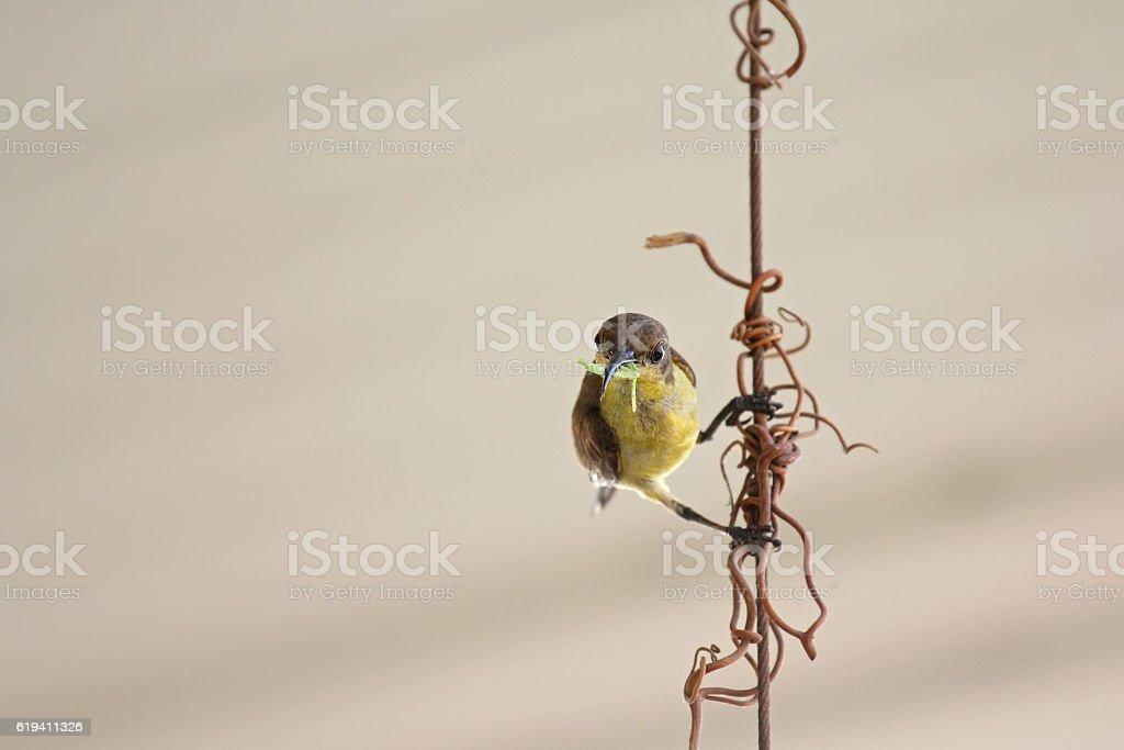 Female olive-backed sunbird, yellow-bellied bird, with worm in beak stock photo
