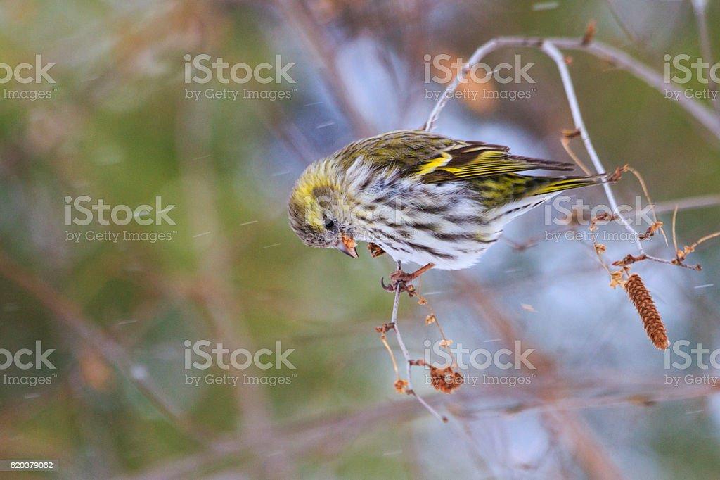 female or sitting Birch branch stock photo