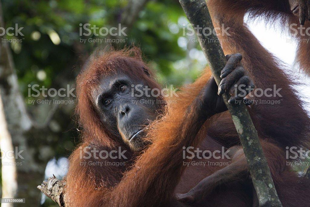 Female Orang Utan sitting in the tree stock photo