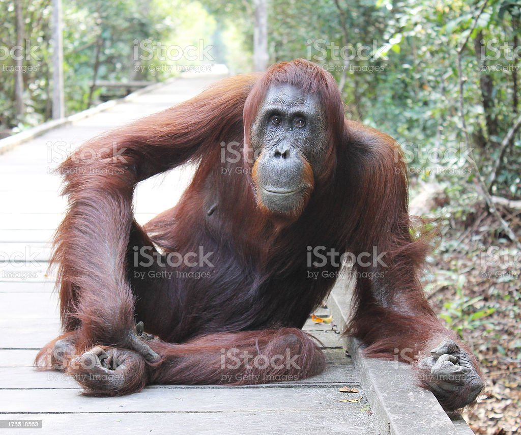 Female orangutan stock photo