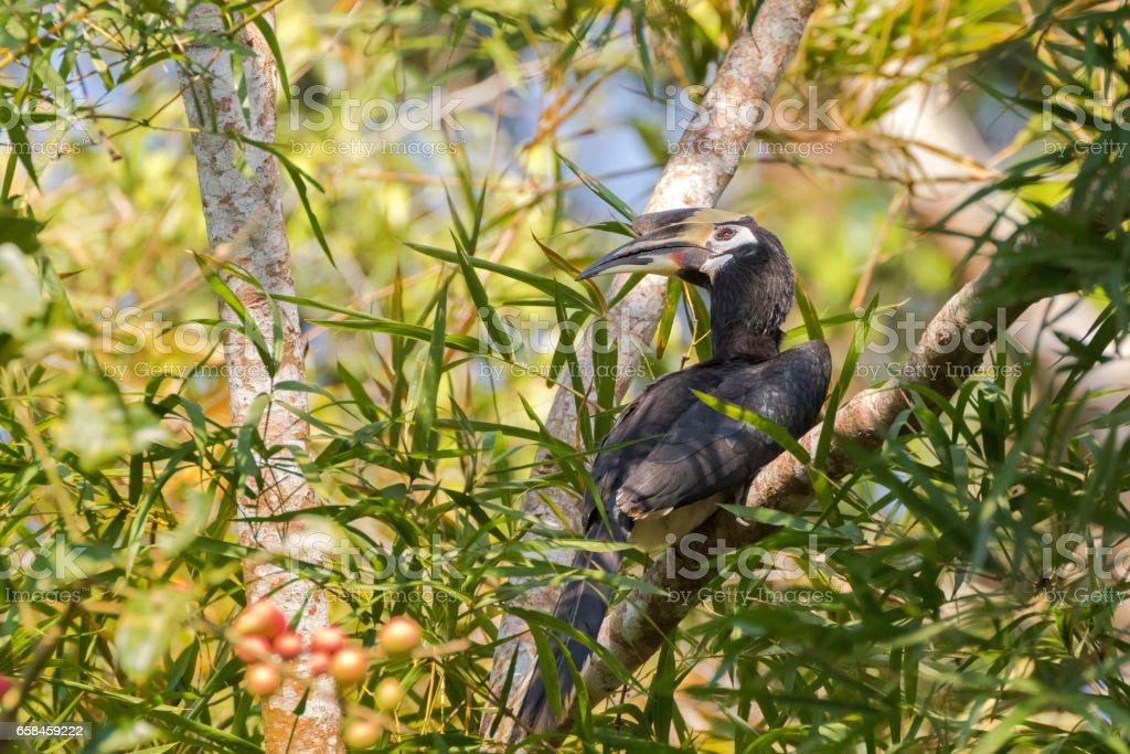 Female Oriental pied hornbill bird in black white with long eyelashes sitting on tree, Thailand stock photo
