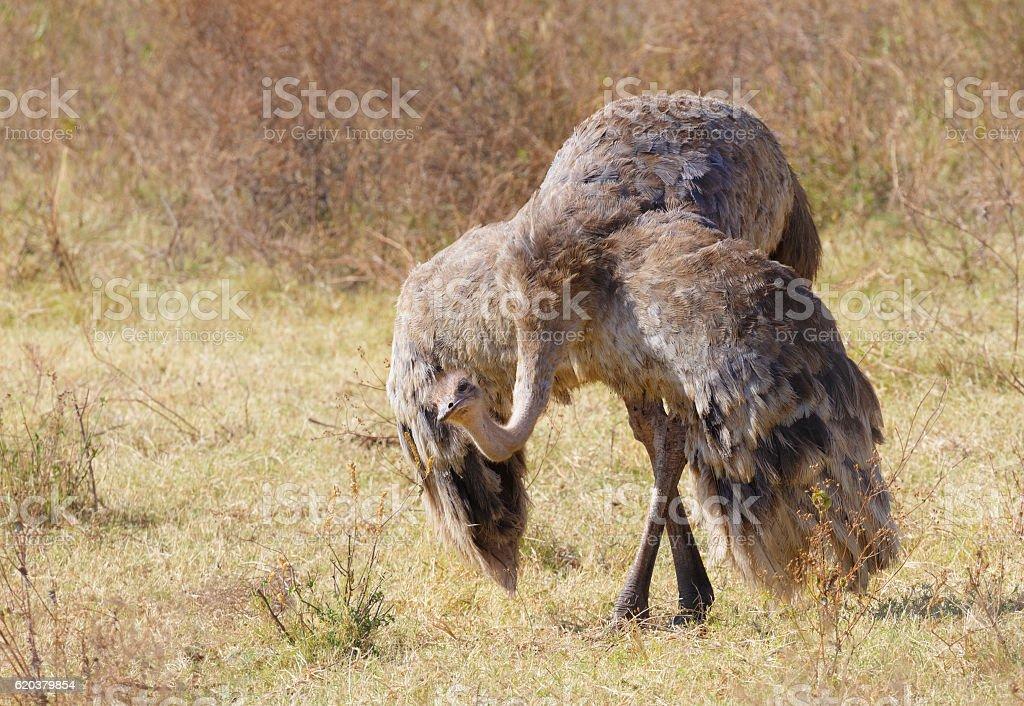Female Ostrich Courtship Display, Ngorongoro Crater, Tanzania Africa stock photo