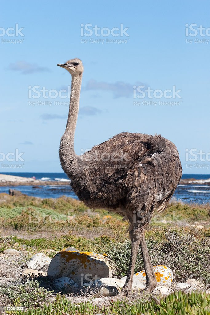 Female Ostrich royalty-free stock photo