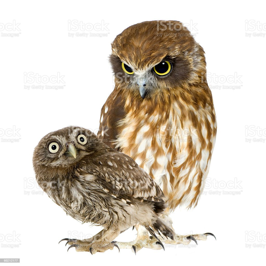 female owl and a owlet royalty-free stock photo